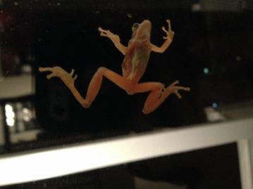 Picture of treefrog on window.