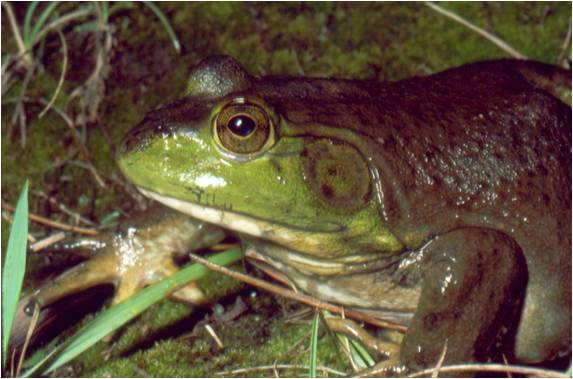 Picture of bullfrog.