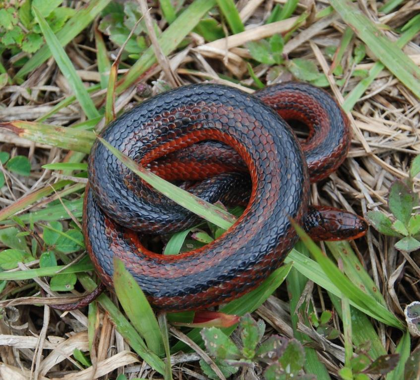 Picture of crayfish snake