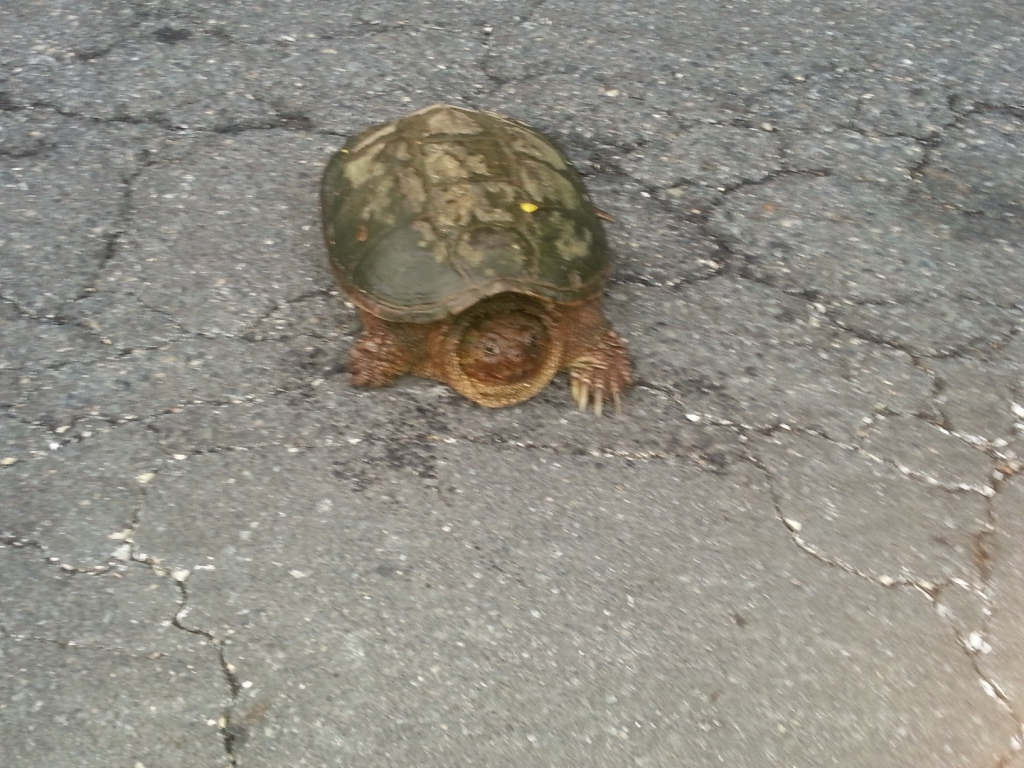 Picture of snapping turtle.