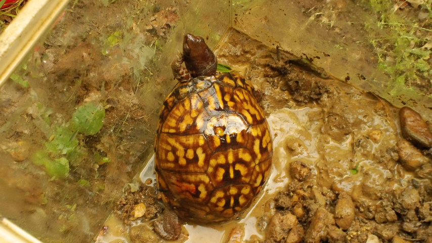 Picture of box turtle.