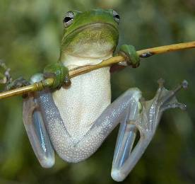 Picture of Green Treefrog.