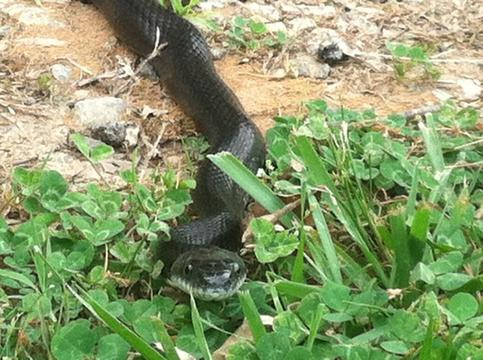 Picture of black ratsnake.