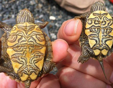 Picture of two baby turtles.
