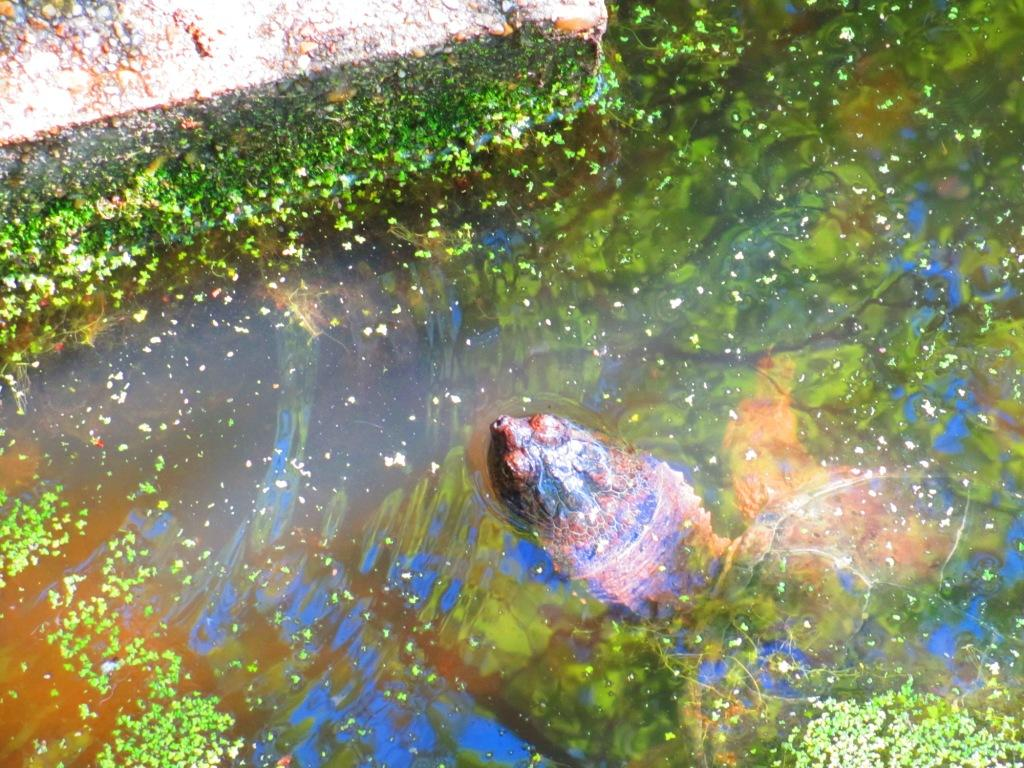 Picture of a snapping turtle in water.