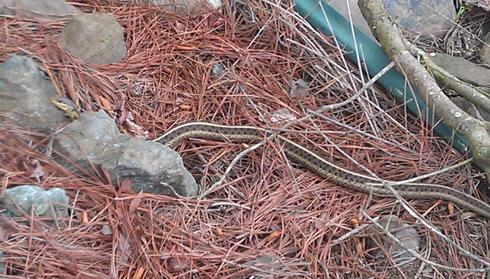 Picture of garter snake in pine needles.
