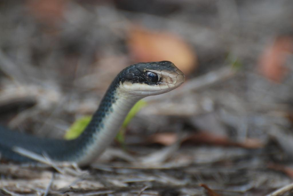 Picture of a black racer snake