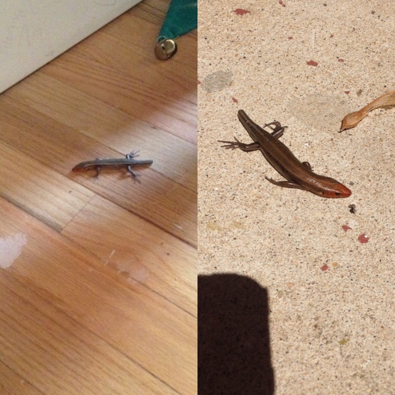 Picture of two lizards.