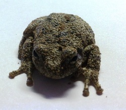 Picture of a treefrog