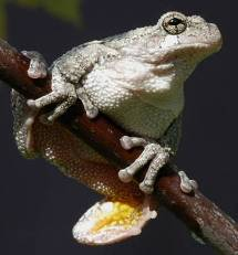 Picture of Cope's Gray treefrog.