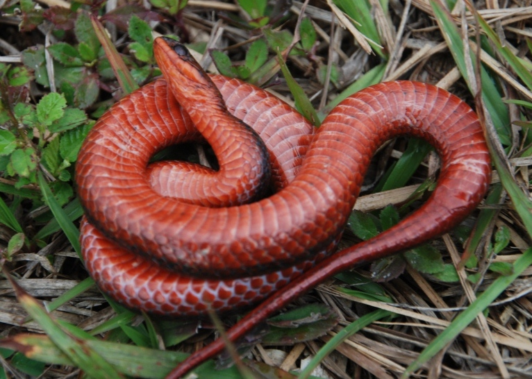Picture of belly of crayfish snake