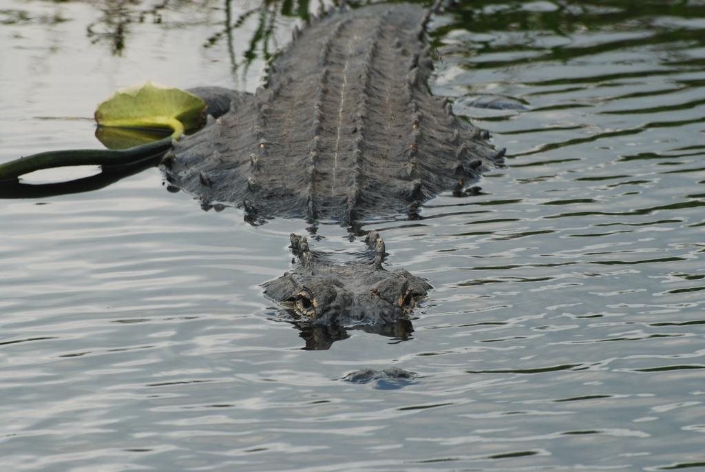 Picture of an alligator.