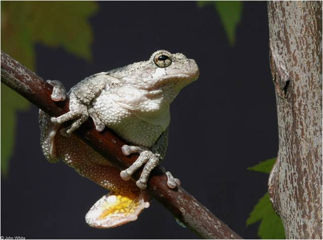 Picture of treefrog.