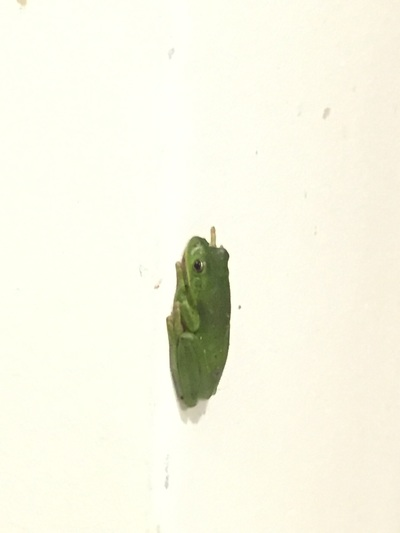 Picture of Green Treefrog on wall.
