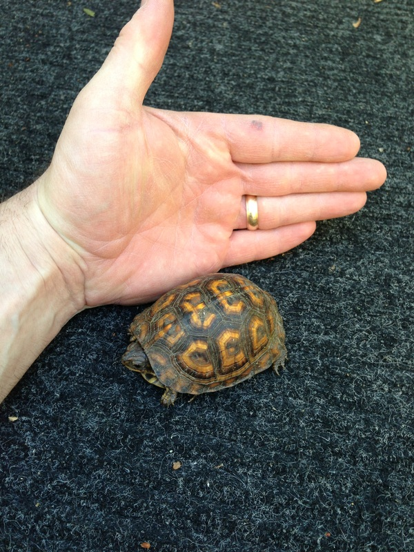 Picture of box turtle and hand.