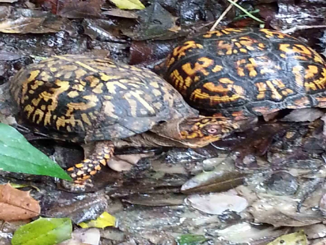 Picture of two box turtles.