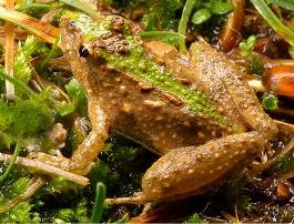 Picture of Cricket Frog.