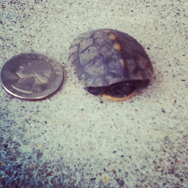 Picture of baby box turtle next to a quarter.