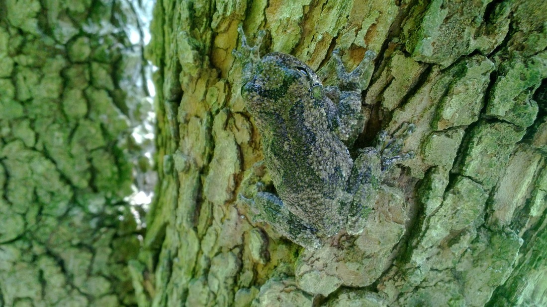 Picture of gray treefrog.