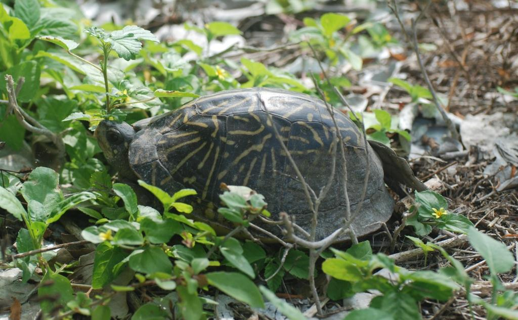 Picture of a box turtle