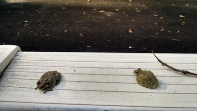 Picture of two frogs.